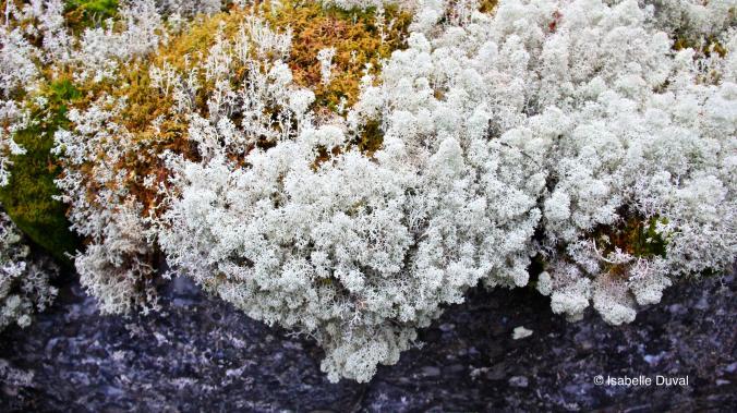 Grande barbe de lichen